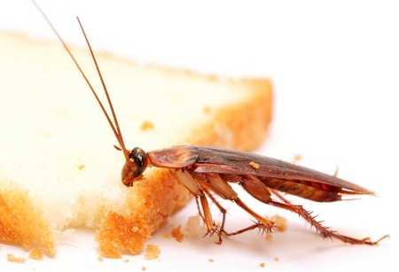 Как избавиться от тараканов – способы и средства