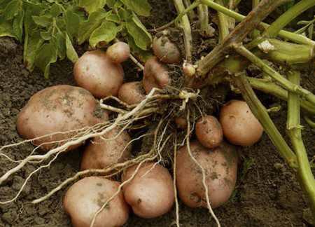 Выращивание картофеля на дачном участке - советы огороднику